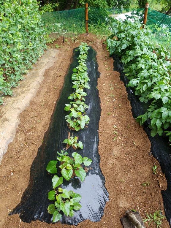さつまいもの苗を植えよう